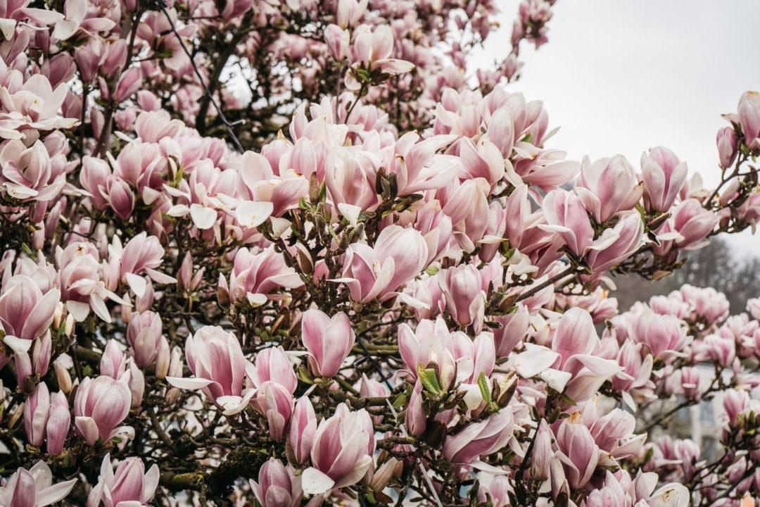 Blooming magnolias in April