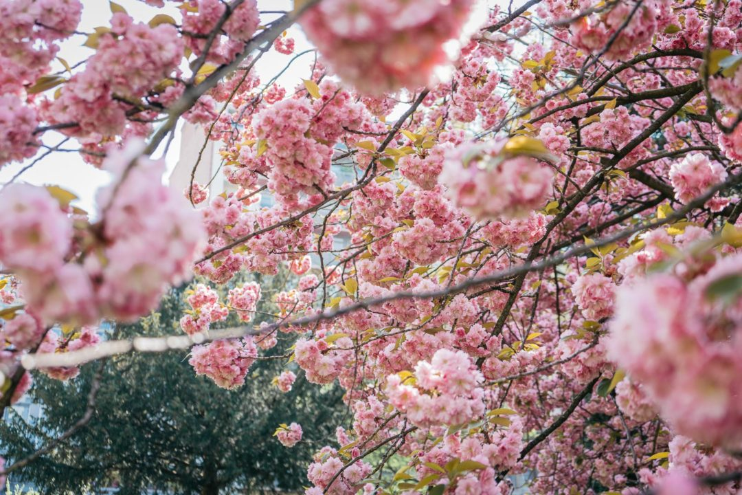 Cherry blossoms in April