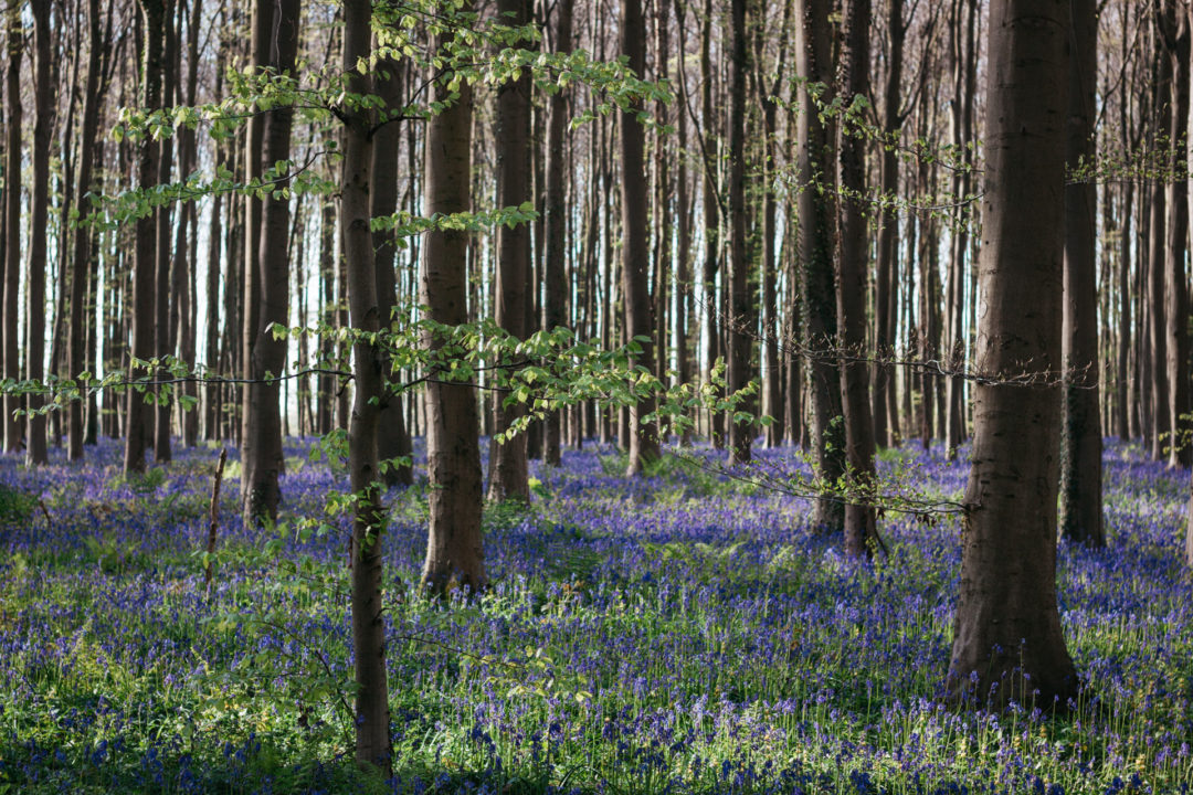Bluebell forest in Hallerbos