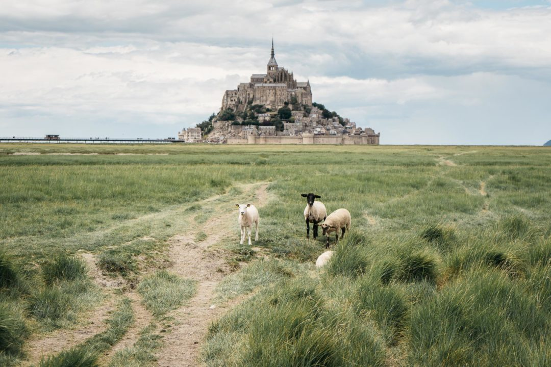 Mont Saint-Michel and sheep in June