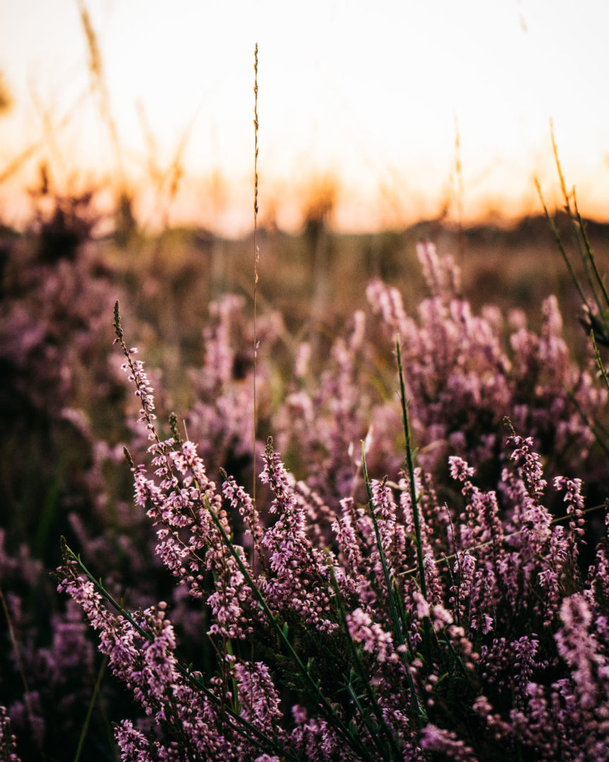 Field of heather during an August sunset