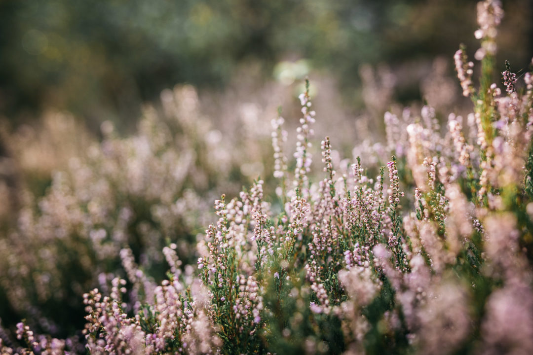 Heather patch blooming in September
