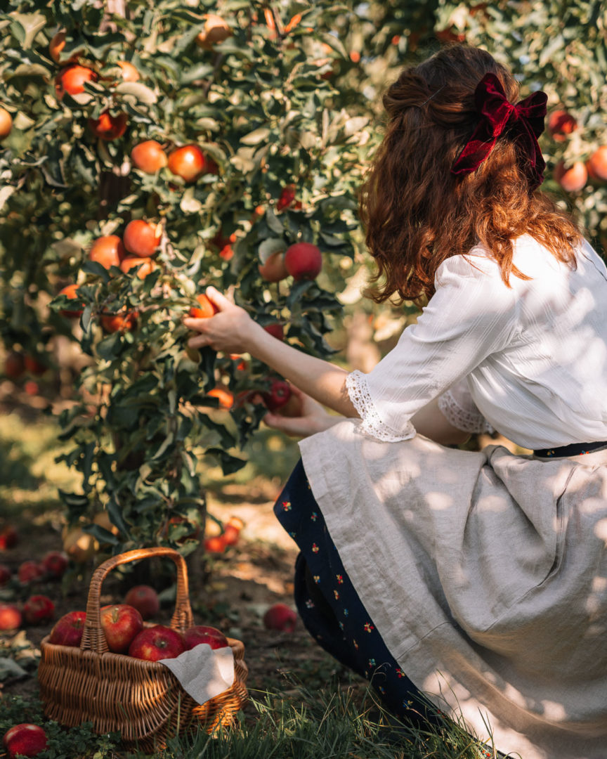 Apple picking in an orchard