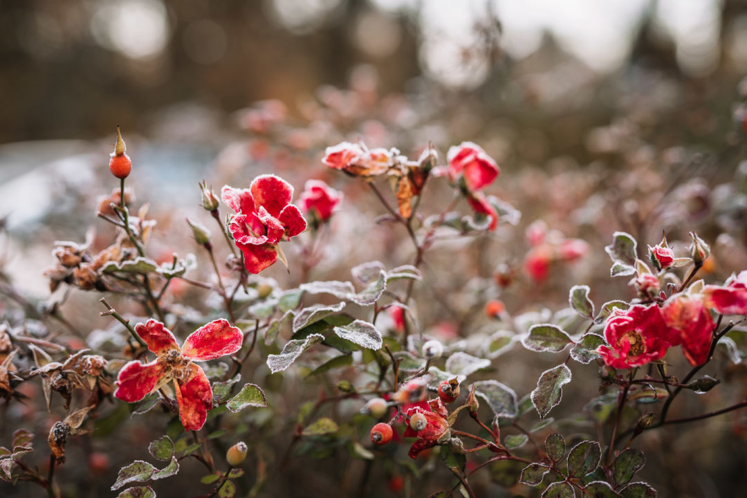 An abundance of December frost on rosebuds