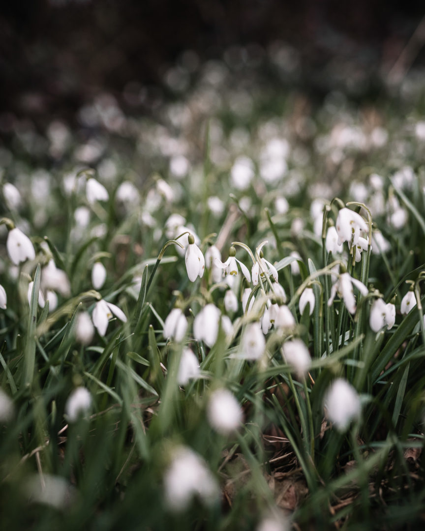 A patch of snowdrops during February