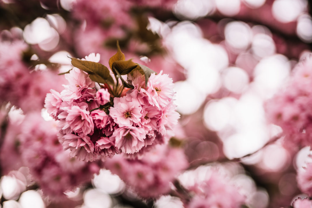 Pink cherry blossoms, one of the many spring blossoms