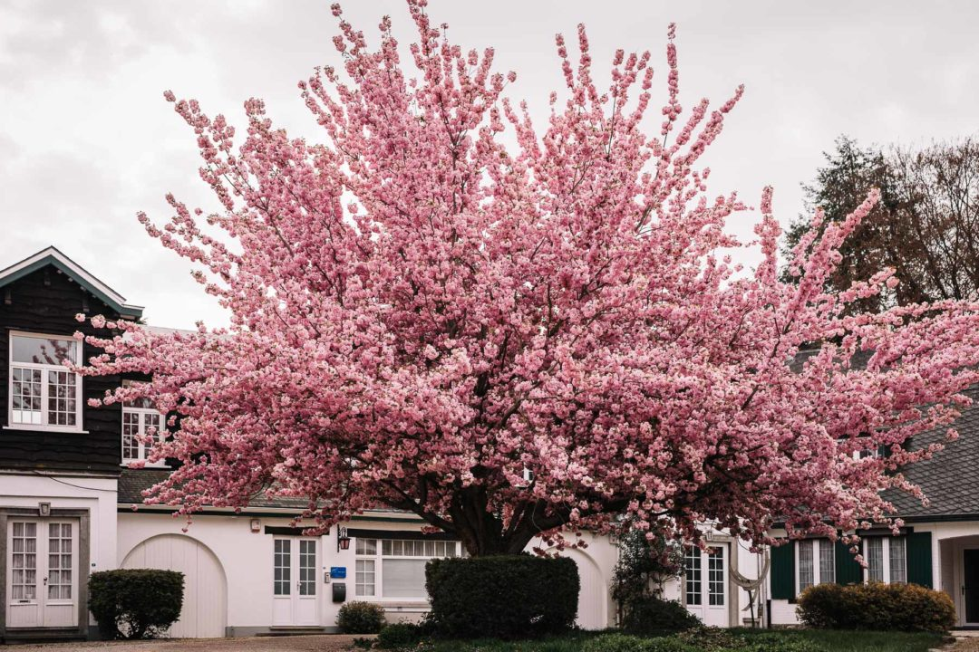 A blooming tree full of pink cherry blossoms