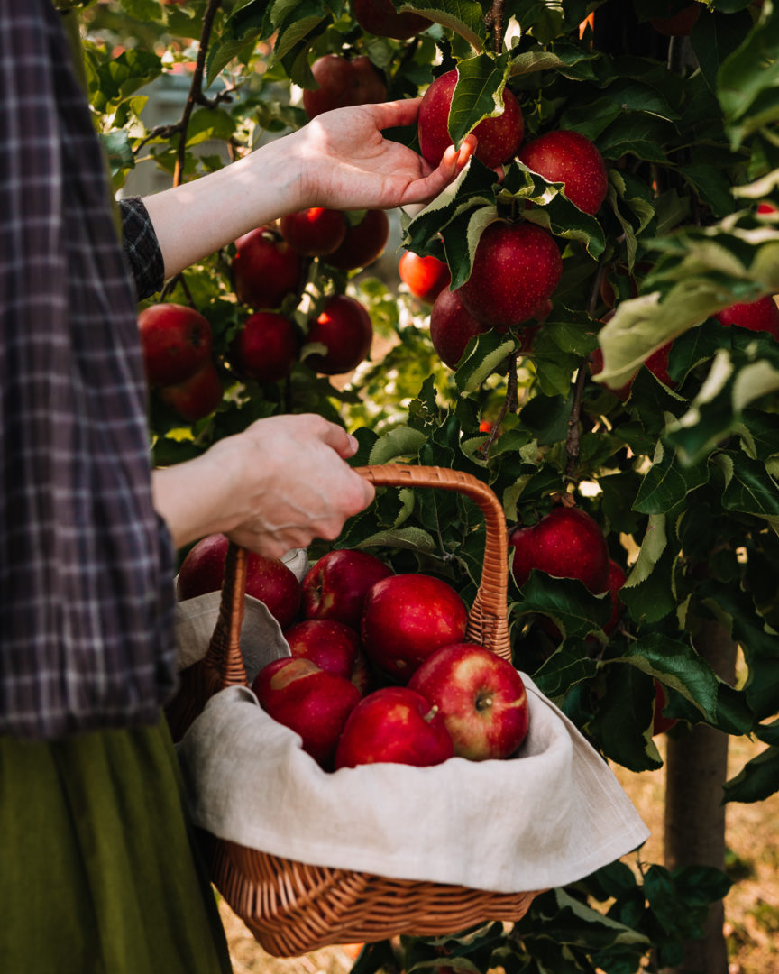 Stories of autumn, a woman in a pinafore dress picking apples during autumn.