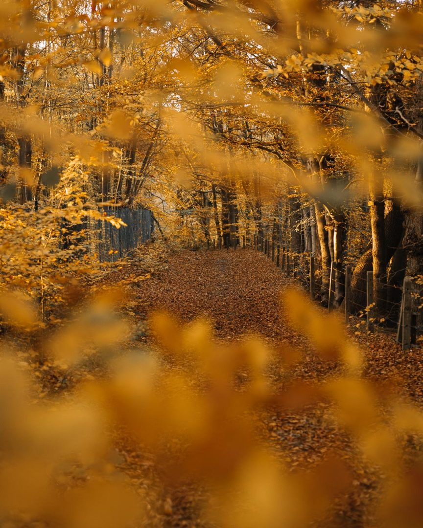 Stories of autumn, a path covered with golden leaves during autumn.