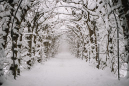 A tree tunnel covered in snow on a foggy morning